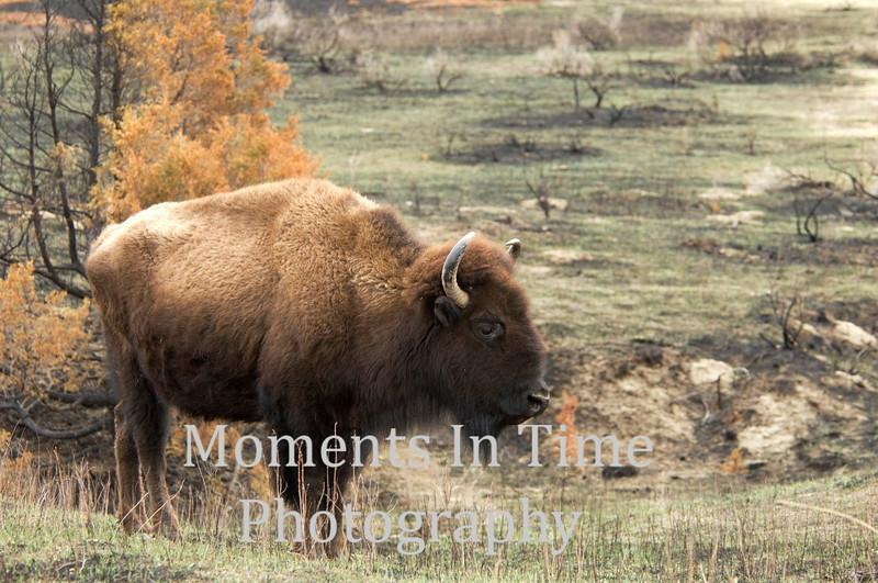 Bison profiled