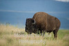 Bison bull in tall grass
