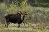 moose (Alces alces)