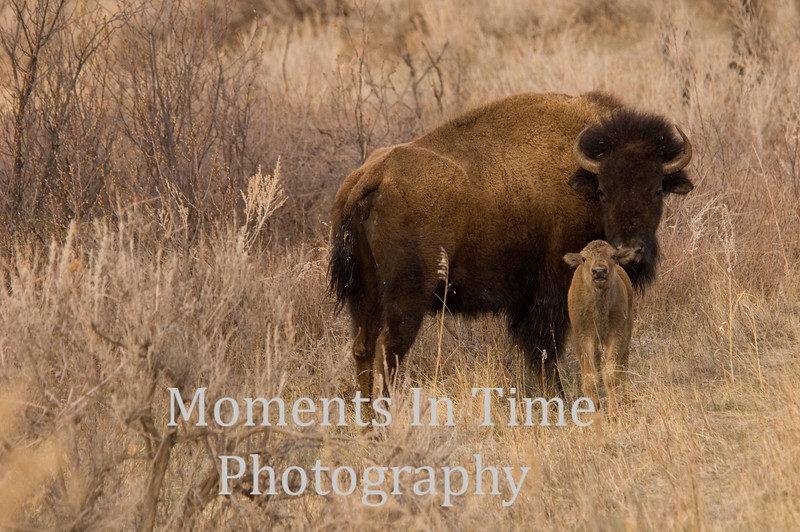Bison with new calf