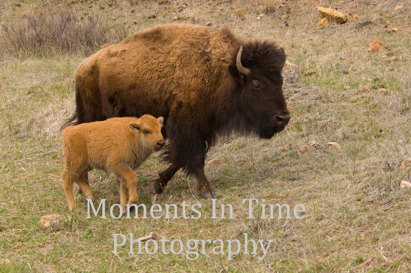 Bison with calf 1