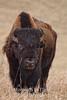 bison walking forward