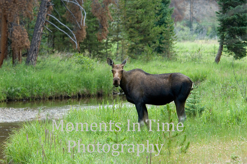 Moose cow by stream
