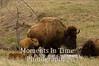 Bison American (bison bison)