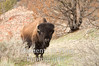 Bull Bison in brush