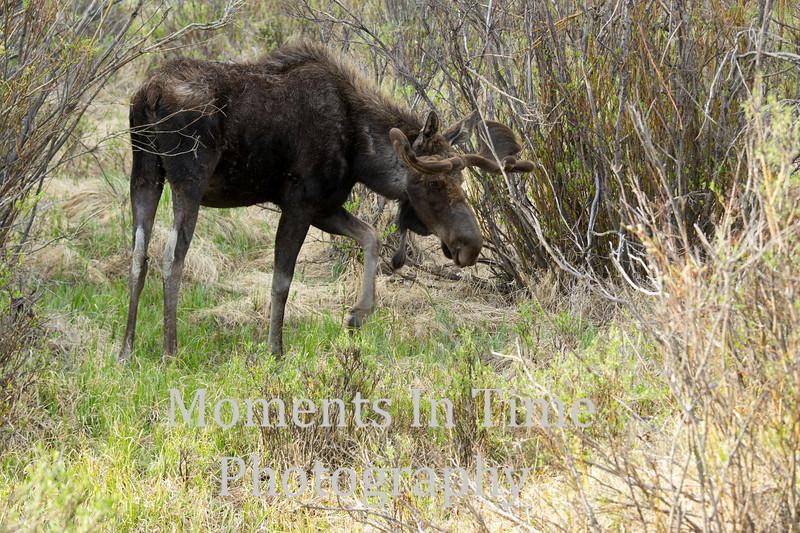 Moose bull Grand Lake