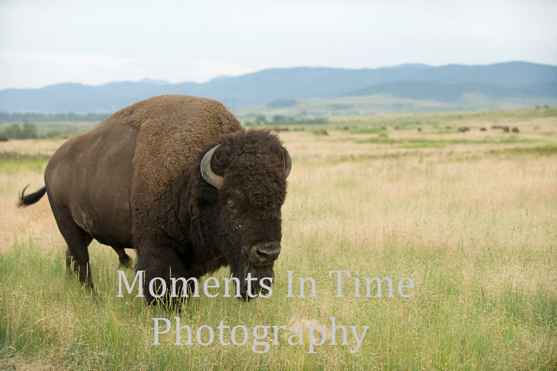 Bison bull approaching in grassland