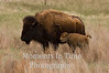 Bison with calf 5