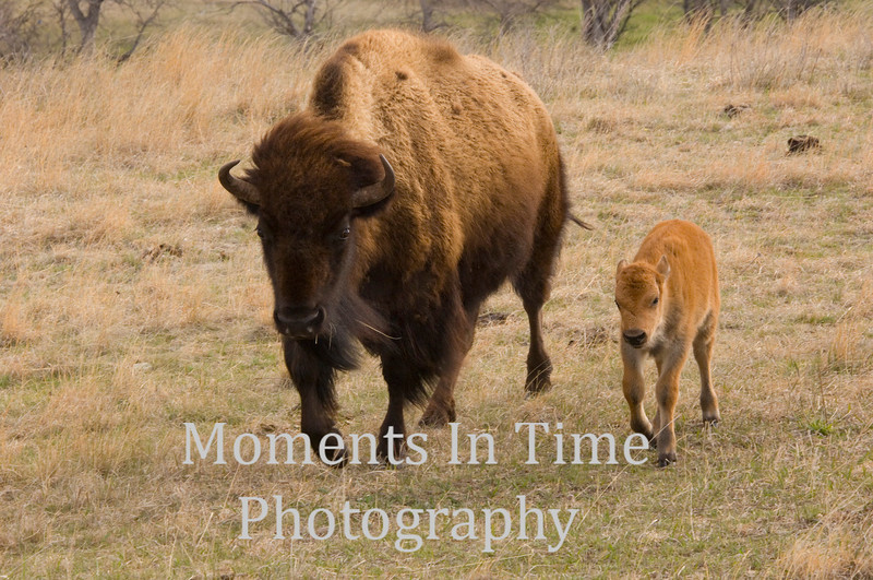 Bison with calf 2