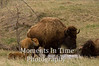 Bison with calf 4