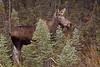 moose_cow_5151