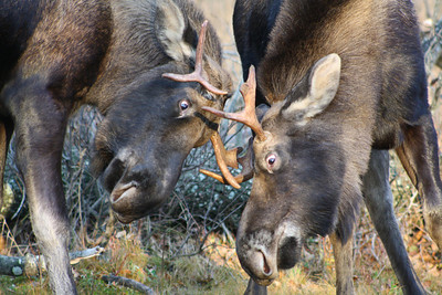 Young Bull Moose Sparring