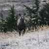 Moose Calf staring at me!