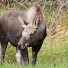 Moose Calf Eating