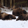 family 3 moose