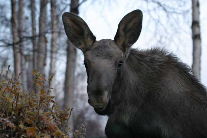moose4361