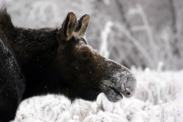 moose4154