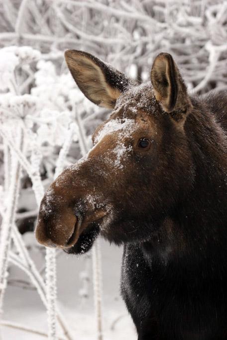 moose4233