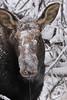 moose4350