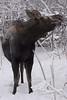 moose4302