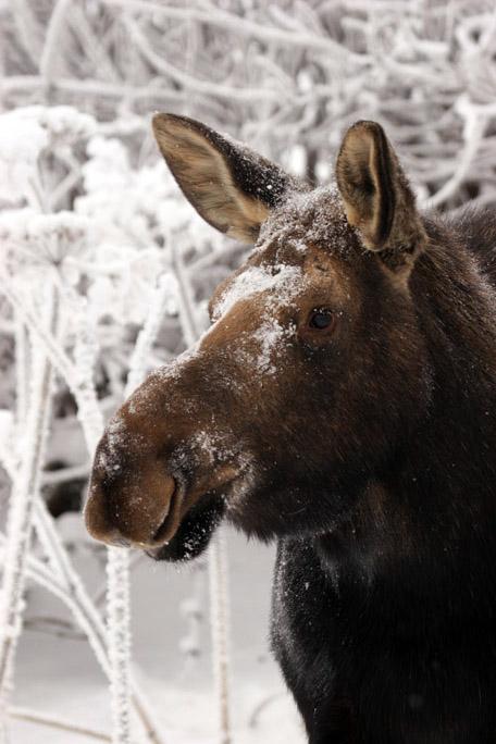 moose4234