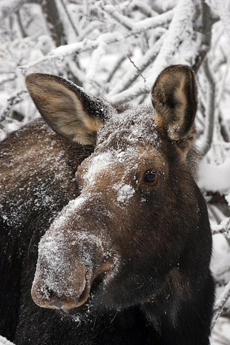moose4346
