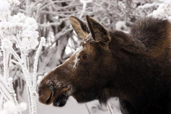 moose4197