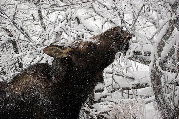 moose4355