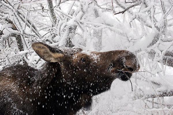 moose4322