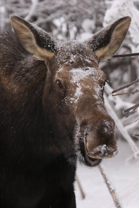 moose4266