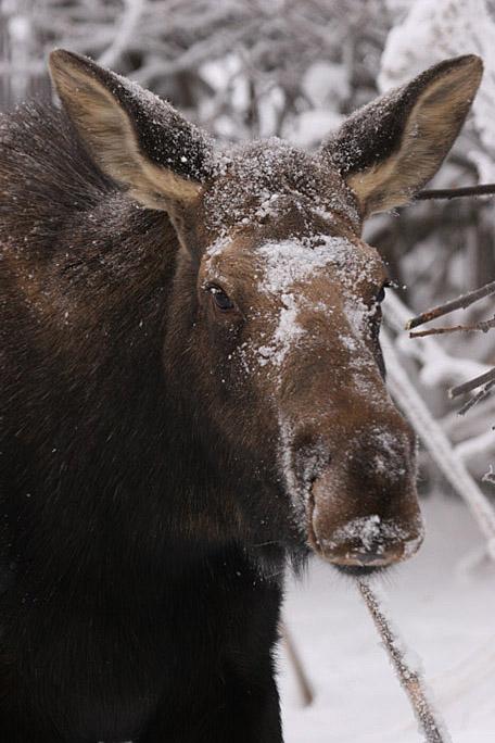 moose4267