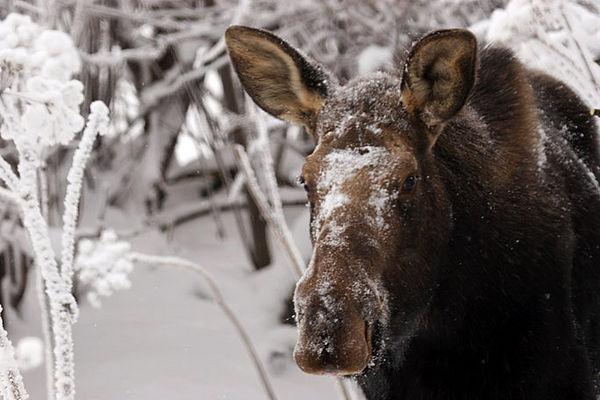 moose4203