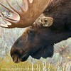 Teton Moose : Too close for comfort!