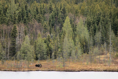 "MOOSE 8819  ""Teal Lake Moose""  While on my way to work one day I had the opportunity to photograph this cow and young calf on Teal Lake.  The white around the cow's neck is a radio collar.  This moose is one of 9 that were collared by the Grand Portage Reservation in order to track their movements over the course of two years.  The data gathered will provide information to the Reservation's Natural Resource department about moose habitat and activity patterns of the moose.  The information will then be used to help manage Reservation lands for the benefit of moose."
