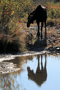 "MOOSE 2279  ""Moose Reflection, Pigeon River""  Grand Portage State Park, MN"