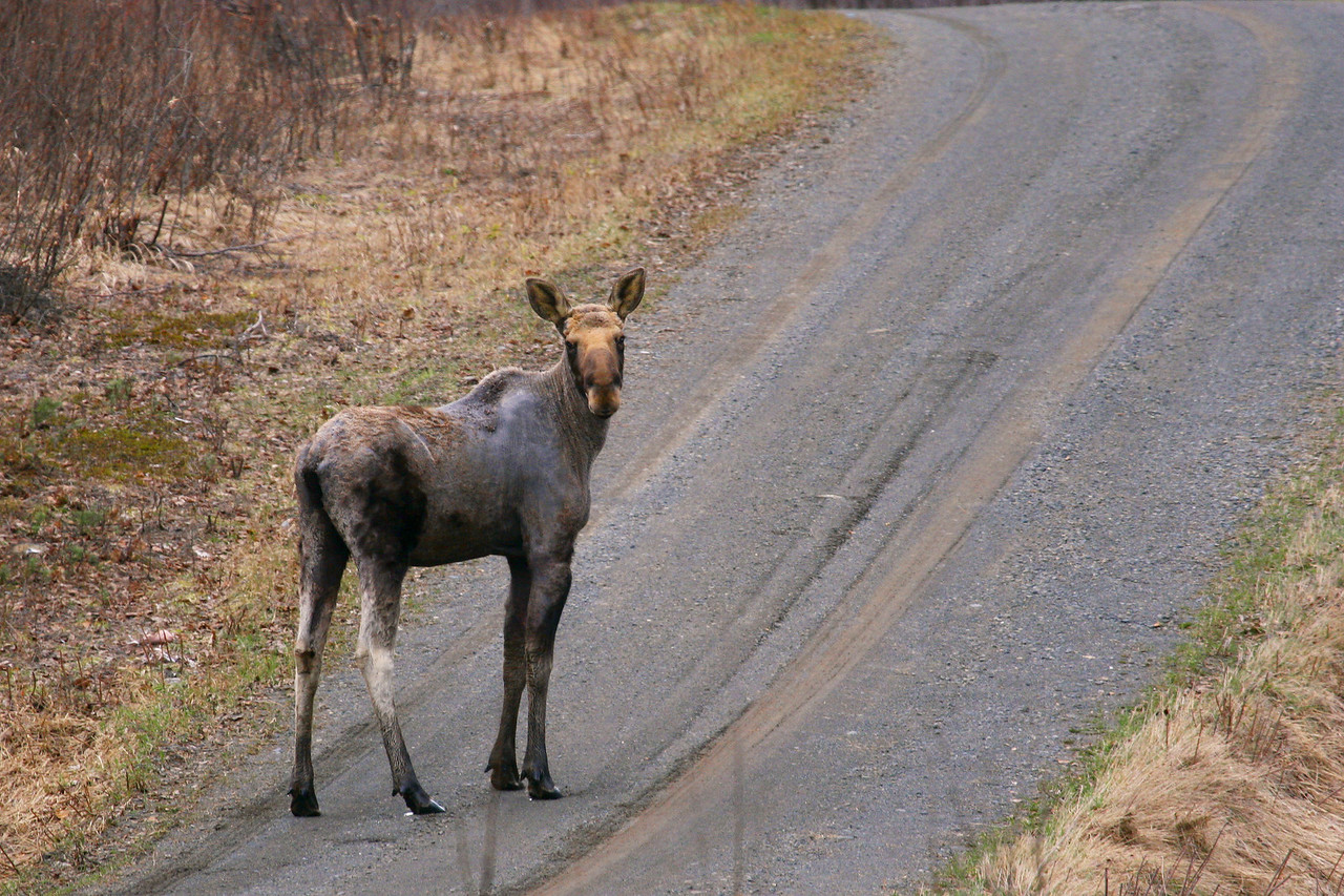 "MOOSE 9536<br /> <br /> ""Spring Moose, Otter Lake Road""<br /> <br /> Cook County, MN"