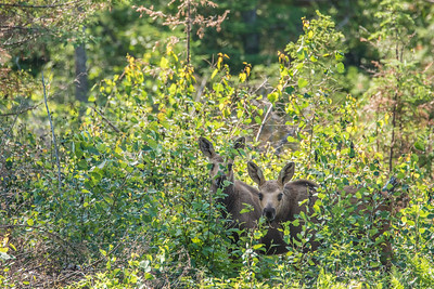 "MOOSE 7184  ""Peekaboo Moose Calves""  Cook County, MN"