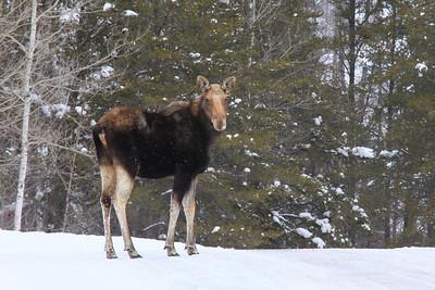 "MOOSE 4863  ""Gunflint Trail Moose"""