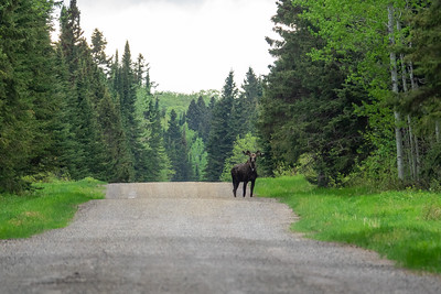 """Spring Moose on Old Highway 61"""