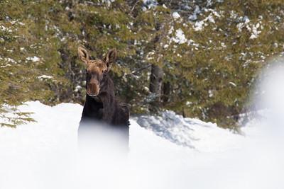 """MOOSE 3520  """"Miss Moose"""""""