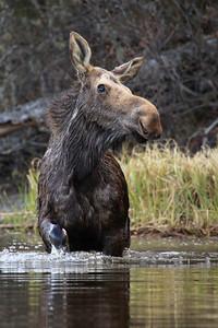 """MOOSE 8373  """"Wading Moose""""  Pigeon River - Grand Portage, MN"""