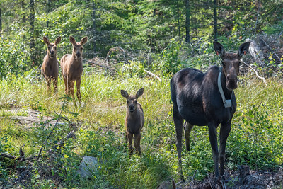 """MOOSE 7197  """"Mama Moose and Her Triplets""""  July 15, 2015 - I spent the morning driving around yesterday looking for photos and I found moose triplets!  I was driving down a gravel backroad when mama moose popped out of the woods from the side of the road and crossed the road in front of me.  Her 3 calves were following close behind.  I couldn't believe it when the first calf came out of the woods, then a second, then a third!  I've only ever seen them with one calf before, so seeing one with 3 was indeed very special.    They crossed the road and went into a clearing on the south side of the road, where I made a few photos of them from the truck.  Then, they crossed the road again and went into an area that had been logged a few years ago.  I watched them for a few moments and then realized, based on their movement, that I might be able to intercept them if I relocated.  So, I went just a few hundred feet up the road to where there was an intersection with another road, then went a few hundred feet up that road to where there was a pull-off into the logged area.    I walked a couple of hundred feet or so out into the logged area and waited for them to show up.  After only a couple of minutes I saw mom working her way towards me through the brush.  Luckily I was downwind and she didn't seem to notice me.  I was standing on a cut stump in the shade, watching her.  A few moments later her calves came out of the brush as they followed her, munching on leaves as they went.  Eventually I had to gently make my presence known otherwise I think she would have walked them right up to me.  I slowly took one step to the right, then a step back to the left.  When I did that she looked up and locked her eyes on me.  The calves did the same.  That was when I made this picture.  They stood like that for a minute or two, then mom turned away and slowly started walking in the other direction, munching on leaves as she went.  The calves followed suit.    I was able to watch them for s"""