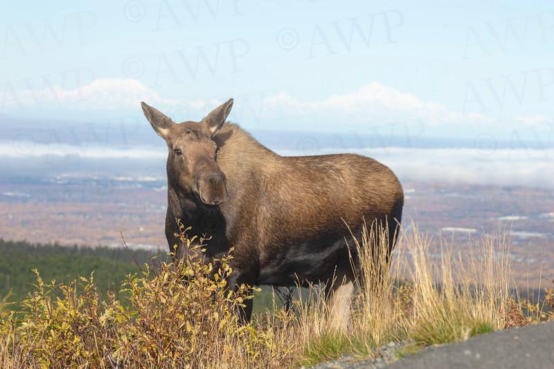Glen Alps Moose