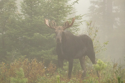 """A foggy morning with a Moose"""