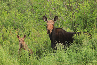 "MOOSE 9827  ""Moose Cow and Calf"""