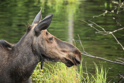 "MOOSE 4465  ""Miss Moose""  Gunflint Trail, MN"