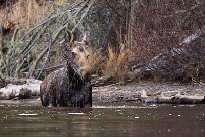 """MOOSE 8357  """"Taking a dip""""  Moose on the Pigeon River - Grand Portage, MN"""