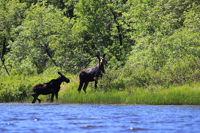 "MOOSE 9390  ""A pair of Moose on the Pigeon River"""