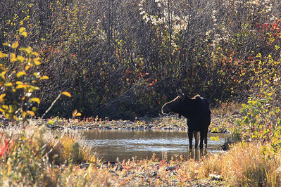 "MOOSE 2244  ""Autumn Moose on the Pigeon River""  Grand Portage State Park, MN"