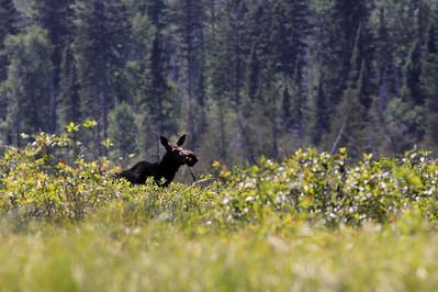 """MOOSE 6511  """"Irish Creek Moose"""""""
